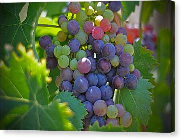 Grape Vines Canvas Print - Grapes by Kelly Wade