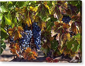 Grapes Of The Napa Valley Canvas Print by Garry Gay