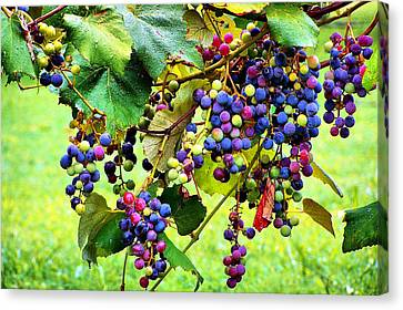 Grapes Of Wrath Canvas Print by Karen Scovill