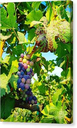Vintner Canvas Print - Grapes On The Vine  by Jeff Swan