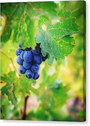 Purple Grapes On The Vine - Napa Valley Canvas Print by Jennifer Rondinelli Reilly - Fine Art Photography