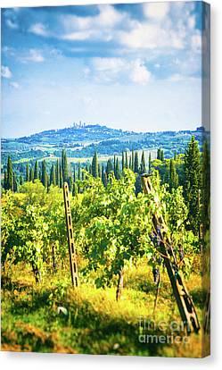 Grapevine In San Gimignano Tuscany Canvas Print