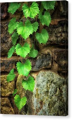 Canvas Print - Grapevine On Wall by James Barber
