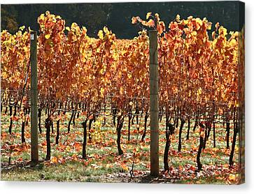 Grapevines After The Harvest Canvas Print by Margaret Hood
