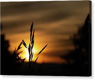 Grass At Sunset Canvas Print