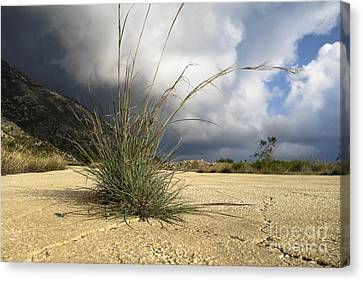 Grass Growing Out Of Crack In Tarmac Canvas Print by Perry Van Munster