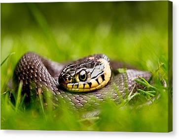 Grass Snake - Natrix Natrix Canvas Print by Roeselien Raimond