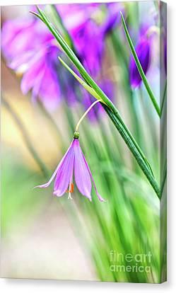 Perennial Canvas Print - Grass Widow Flowers by Tim Gainey
