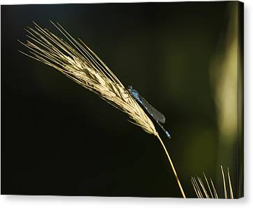 Grass With Blue Damsel Canvas Print by Thomas Young