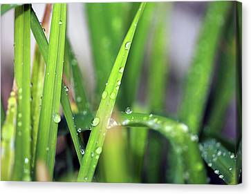 Grass With Rain Drops  Canvas Print by Michael Ledray