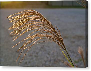Grassflowers In The Setting Sun Canvas Print by Douglas Barnett