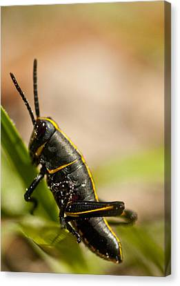 Grasshopper 2 Canvas Print by Anthony Towers