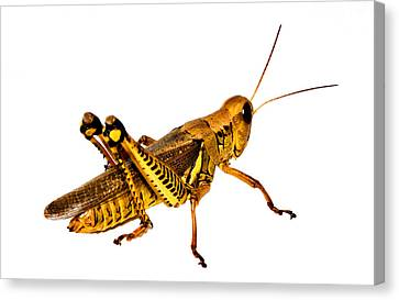 Grasshopper I Canvas Print by Gary Adkins