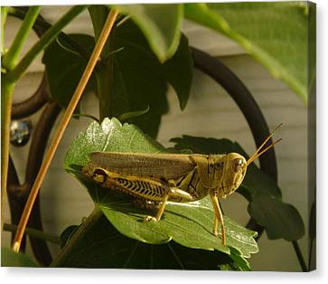 Grasshopper Canvas Print by John Julio