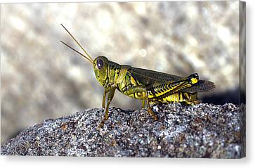 Grasshopper Canvas Print by Joseph Skompski