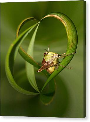 Grasshopper Canvas Print by Jouko Lehto