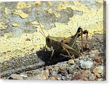 Grasshopper Laying Eggs Canvas Print
