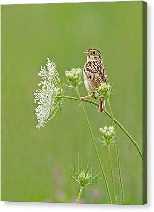 Grasshopper Sparrow Canvas Print