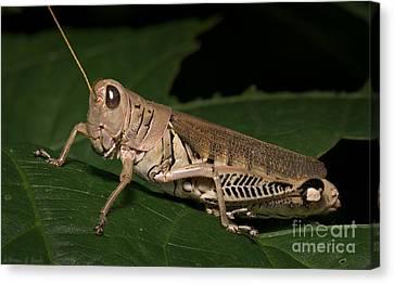 Grasshopper Canvas Print by Warren Sarle