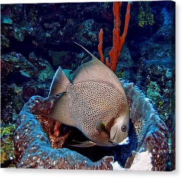 Gray Angel Fish And Sponge Canvas Print