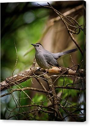 Canvas Print - Gray Catbird by Bob Orsillo