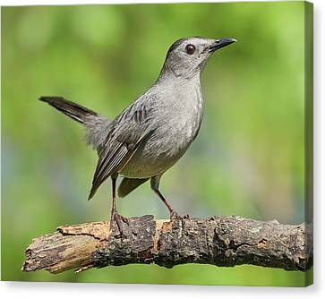 Gray Catbird   Dumetella Carolinensis Canvas Print by Jim Hughes