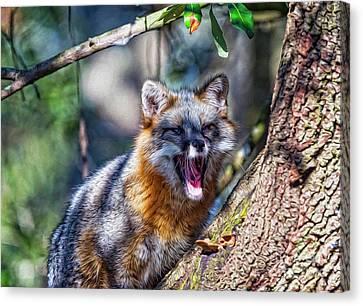 Gray Fox Awakens In The Tree Canvas Print