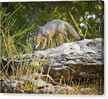 Gray Fox Hunting The Bluff Canvas Print