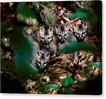 Gray Fox Kits Canvas Print by Lloyd Grotjan