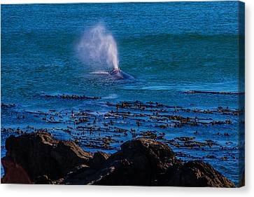 Blowhole Canvas Print - Gray Whale Blow Hole by Garry Gay