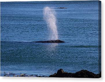 Blowhole Canvas Print - Gray Whale Breathing by Garry Gay