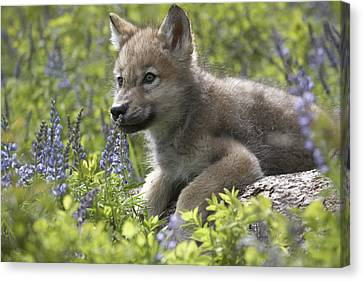 Gray Wolf Canis Lupus Pup Amid Lupine Canvas Print by Tim Fitzharris