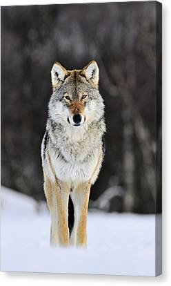 Animal Canvas Print - Gray Wolf In The Snow by Jasper Doest