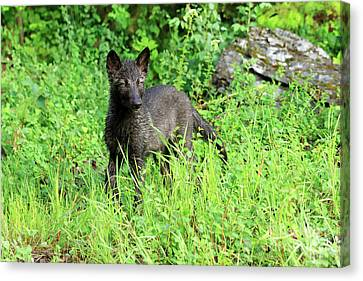 Gray Wolf Pup Canvas Print by Louise Heusinkveld