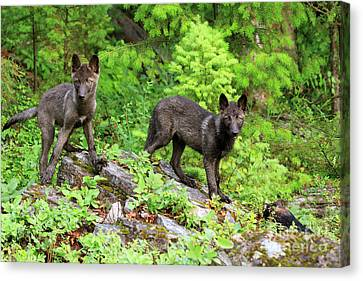 Gray Wolf Pups Canvas Print by Louise Heusinkveld