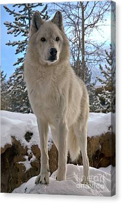 Gray Wolf Winter Intensity Canvas Print