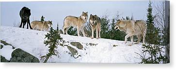 Gray Wolves Canis Lupus In A Forest Canvas Print by Panoramic Images