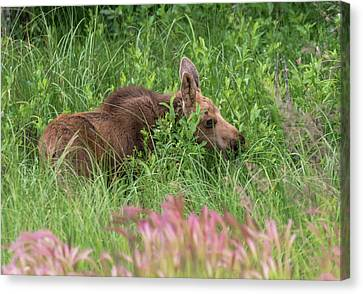 Grazing Baby Moose Canvas Print