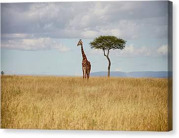 Grazing Giraffe Canvas Print