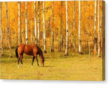 Grazing Horse In The Autumn Pasture Canvas Print by James BO  Insogna