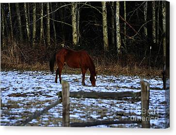 Grazing In A Washington Winter Canvas Print by Clayton Bruster