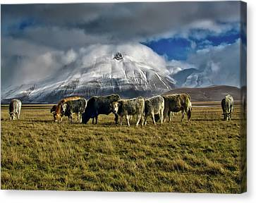 Grazing In Italy Canvas Print