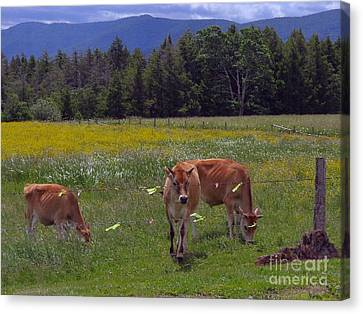 Grazing In The Pasture Canvas Print by Donna Cavanaugh
