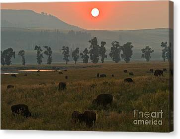Bison Heard Canvas Print - Grazing In The Smoke by Adam Jewell