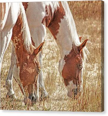 Grazing Paint Horses  Canvas Print by Jennie Marie Schell