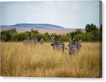 Grazing Zebras Canvas Print