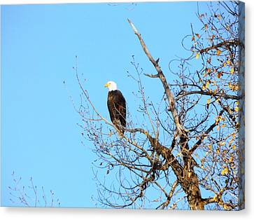 Great American Bald Eagle Canvas Print