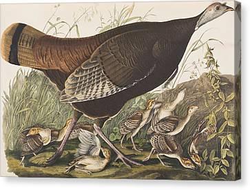 Great American Hen Canvas Print by John James Audubon