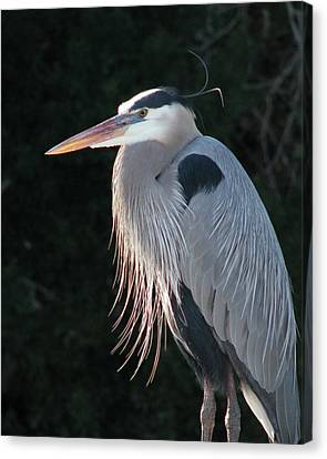 Canvas Print featuring the photograph Great Blue At Rest by Peg Urban