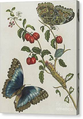 Great Blue Butterflies And Red Fruits Canvas Print by Maria Sibylla Graff Merian
